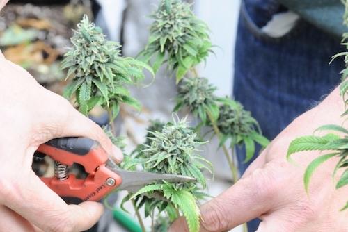 auto cultivo marihuana uruguay